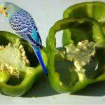 Bild Kanarienvogel mit Paprika